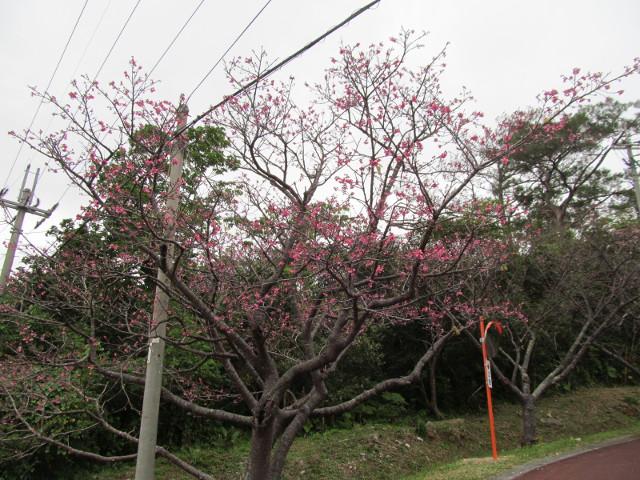 八重岳で一番開花していた桜