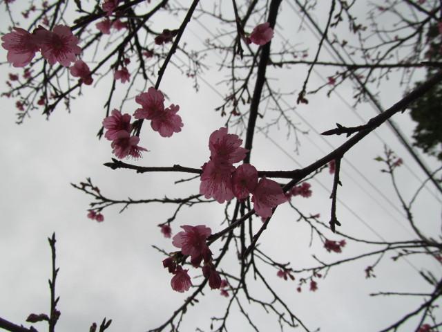 八重岳で開花していた桜その4