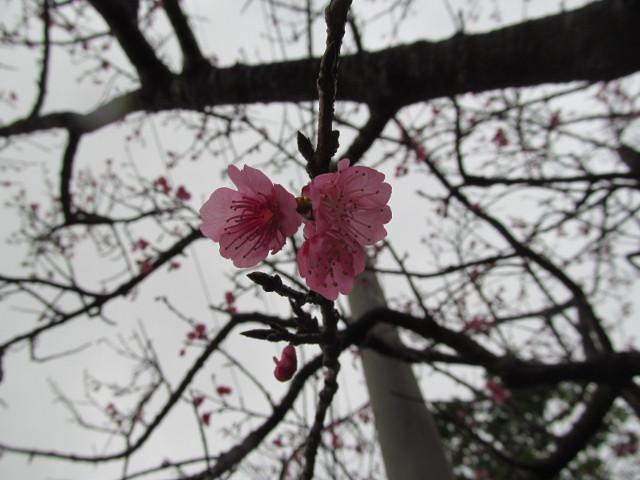 八重岳で開花していた桜その1