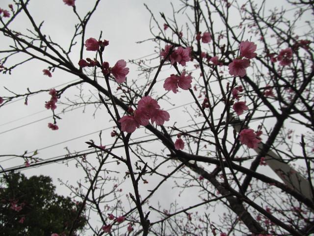 八重岳で開花していた桜その5