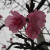 八重岳で開花していた桜サムネイル