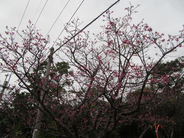 八重岳で開花していた桜その2