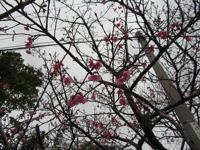 八重岳で開花していた桜その3