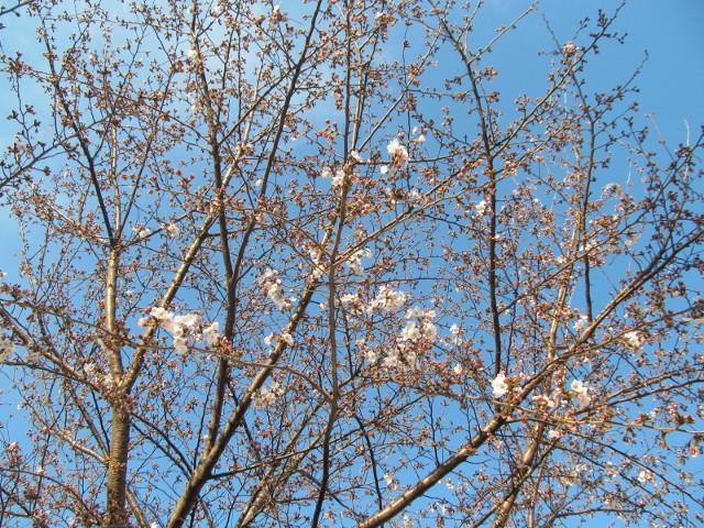 桜開花状況円光院世田谷駅側で最も咲いているあたり2