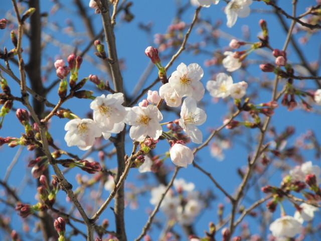 桜開花状況円光院世田谷通りから2番目アップ