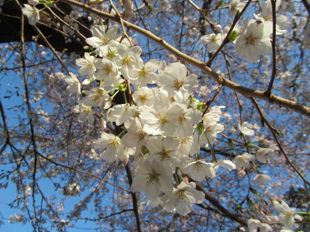 世田谷駅北の民家の桜満開部分アップ