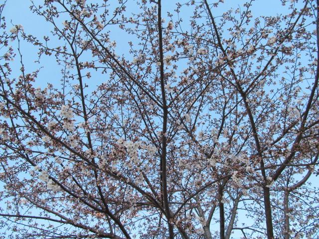 桜開花状況円光院世田谷駅側で最も開花しているあたり