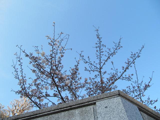 桜開花状況円光院世田谷通り側