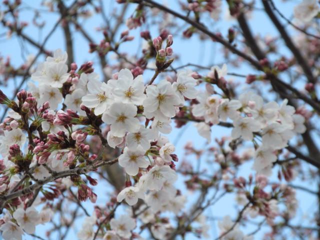 桜開花状況円光院世田谷駅側で最も開花しているあたりアップ