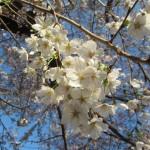世田谷駅周辺の桜開花状況20150329サムネイル