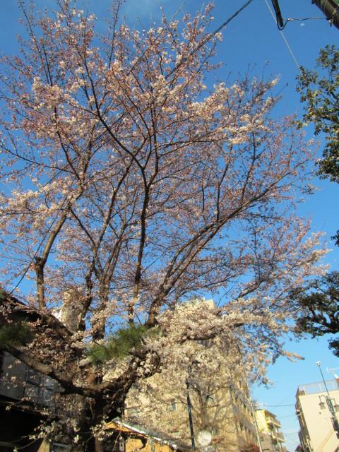 世田谷駅北の民家の桜全景