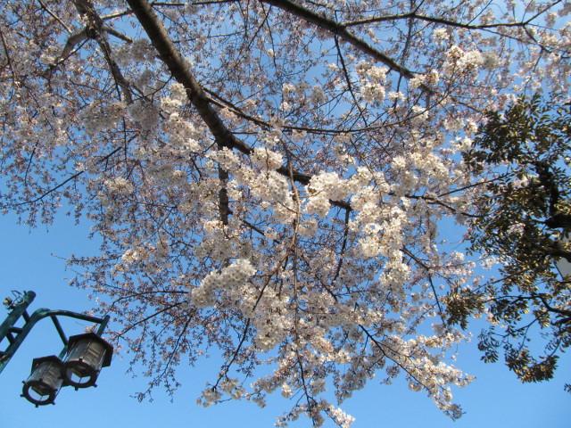 世田谷駅北の民家の桜は部位によっては満開