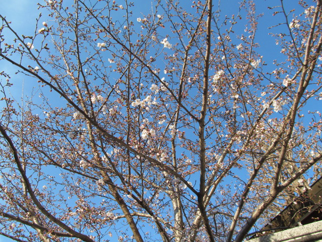 桜開花状況円光院世田谷通り側から2番目