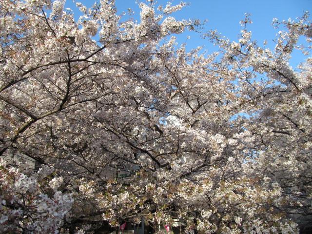 目黒川の満開の桜2015東山橋4