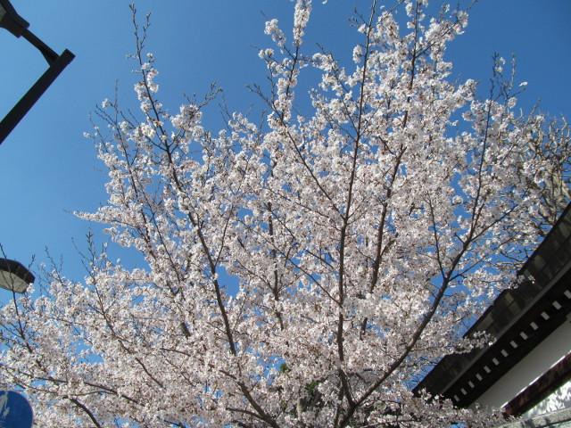 円光院の満開の桜2015その2