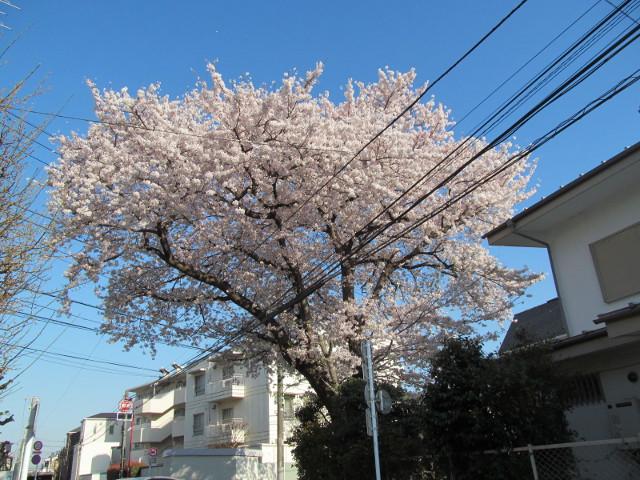 弦巻三丁目の民家の桜1