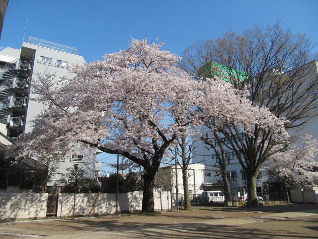天祖神社の満開の桜2015その1