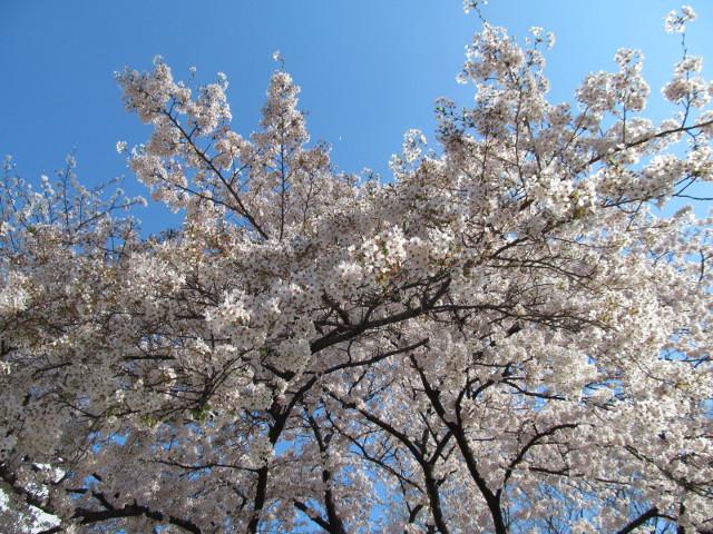 天祖神社の満開の桜2015その3