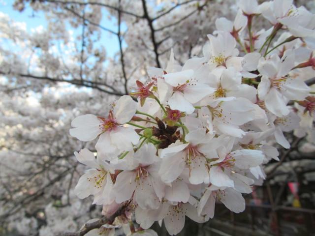 目黒川の満開の桜2015万代橋4