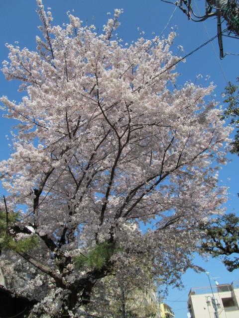世田谷駅北側民家の満開の桜2015その3