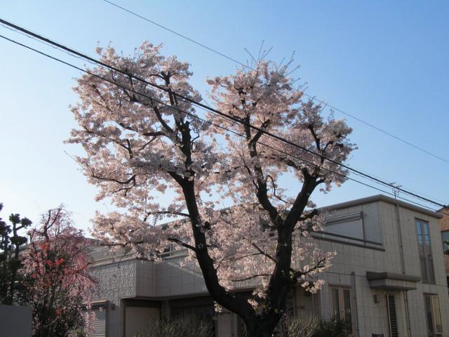 弦巻一丁目交差点近くの民家の満開の桜2015その3