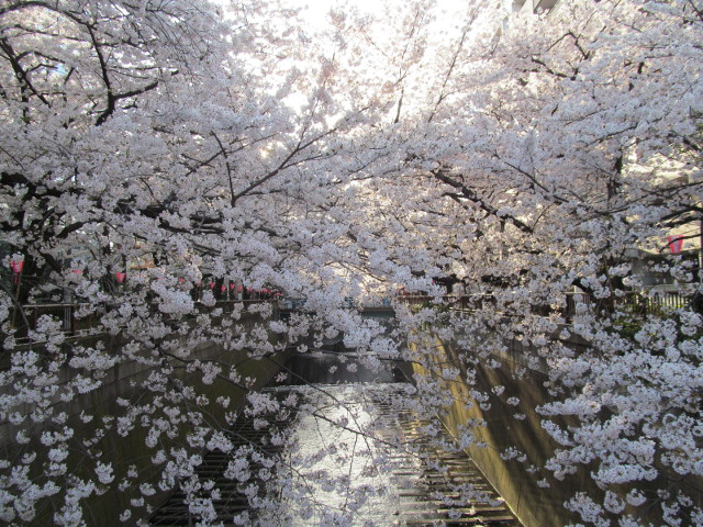 目黒川の満開の桜2015東山橋1