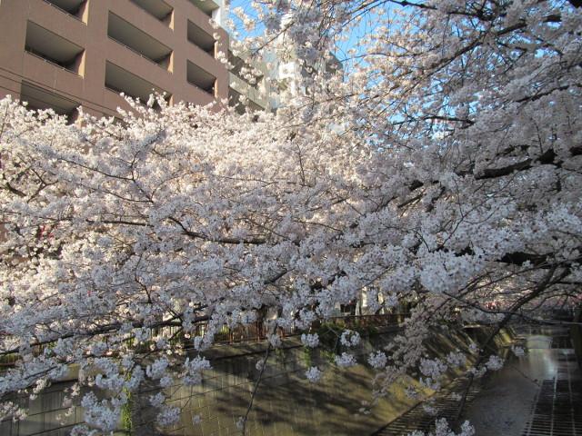 目黒川の満開の桜2015氷川橋7