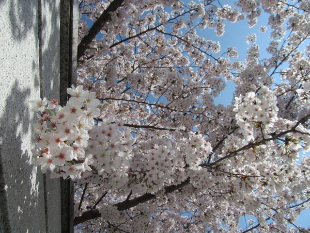 円光院の満開の桜2015その6