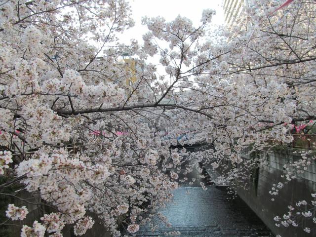 目黒川の満開の桜2015万代橋1