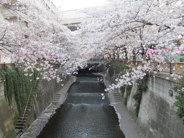 目黒川の満開の桜2015常盤橋1