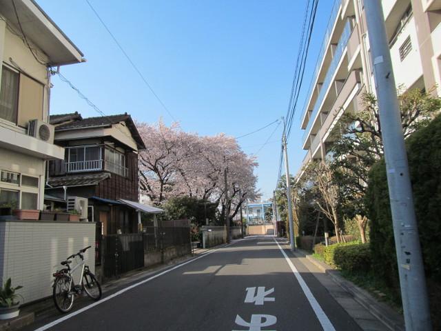 弦巻通りから見えた立派な桜