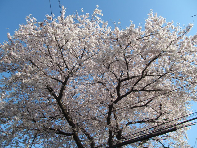 弦巻三丁目の民家の桜2