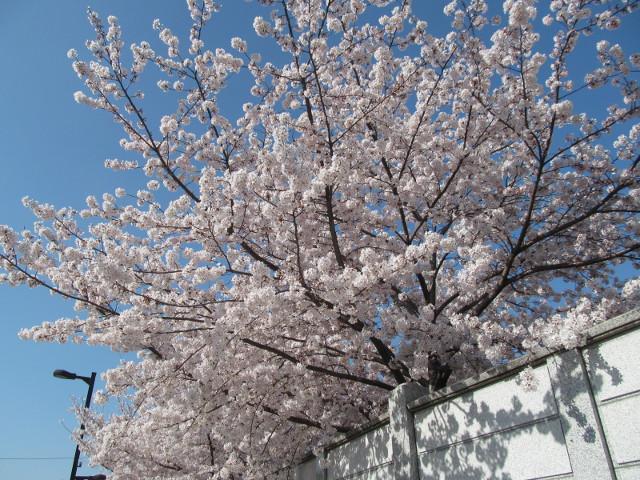 円光院の満開の桜2015その5