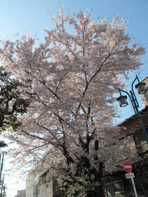 世田谷駅北側民家の満開の桜2015その1