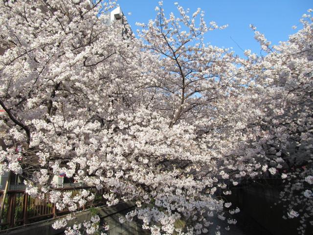 目黒川の満開の桜2015氷川橋8