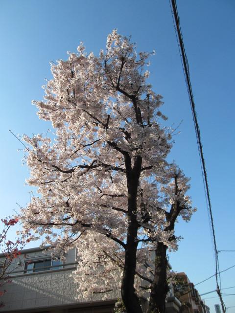 弦巻一丁目交差点近くの民家の満開の桜2015その1