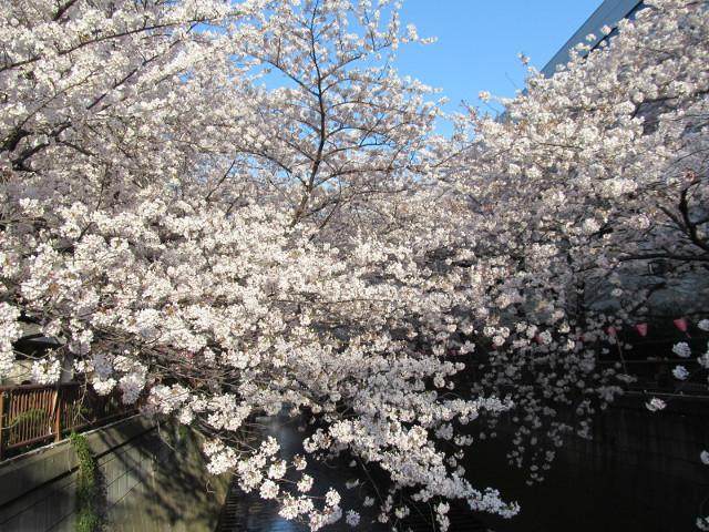 目黒川の満開の桜2015氷川橋11