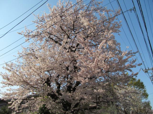 松丘小学校周辺の満開の桜2015その3