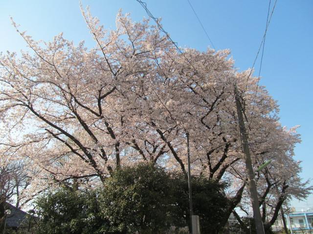浄光寺の満開の桜2015その2