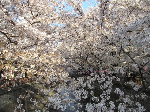 目黒川の満開の桜2015東山橋3
