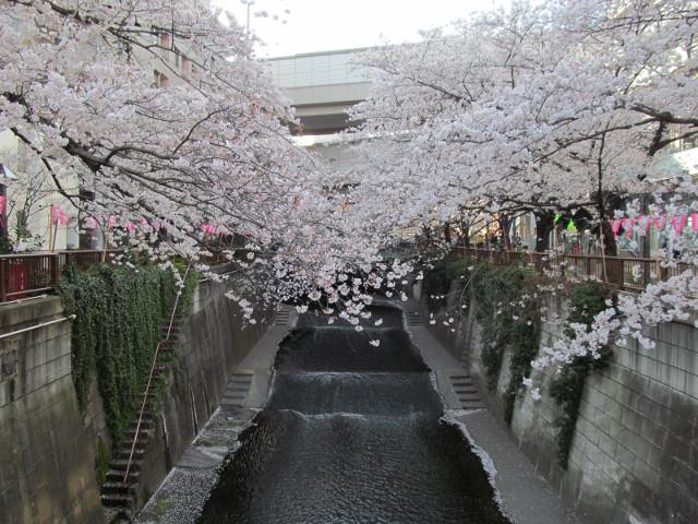 目黒川の満開の桜2015常盤橋2