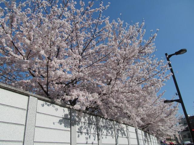 円光院の満開の桜2015その7
