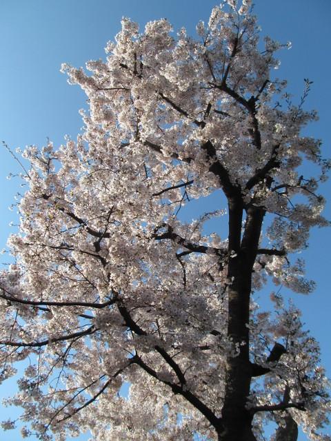 弦巻一丁目交差点近くの民家の満開の桜2015その2
