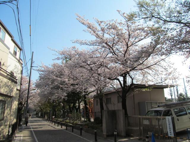 松丘小学校の満開の桜2015その1
