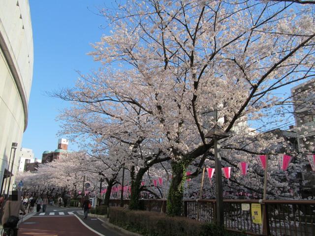 目黒川の満開の桜2015常盤橋4