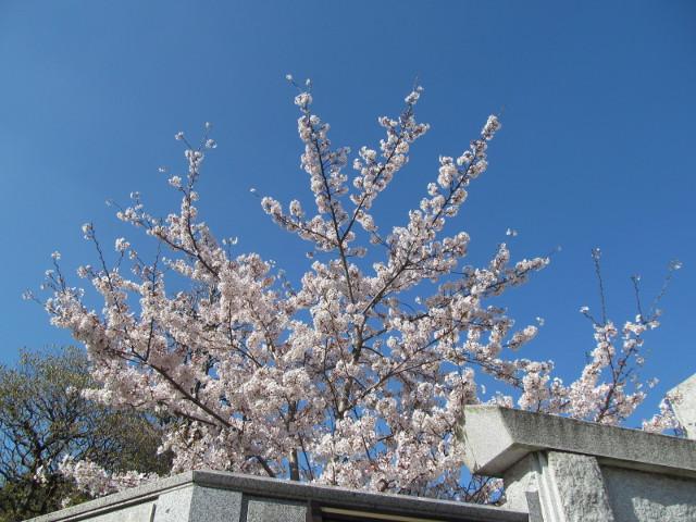 円光院の満開の桜2015その1