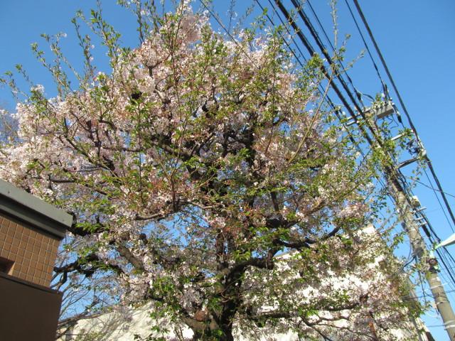 ボロ市通りの桜は葉桜2015その1