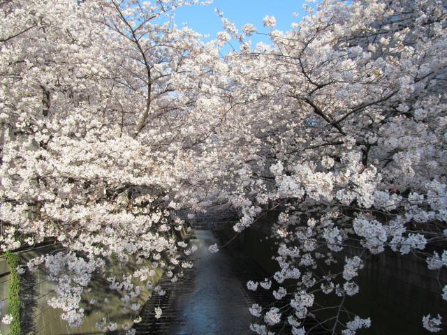 目黒川の満開の桜2015氷川橋2