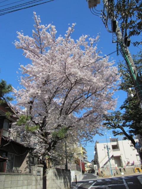 世田谷駅北側民家の満開の桜2015その2