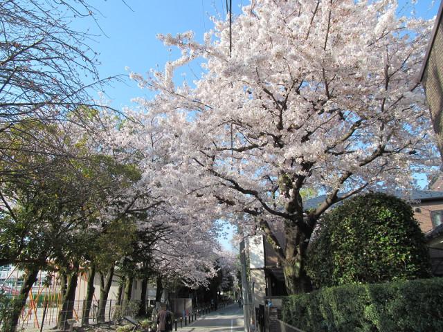 松丘小学校の満開の桜2015その2